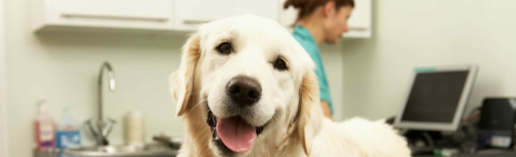 Golden dog looking at camera while veterinarian is on computer