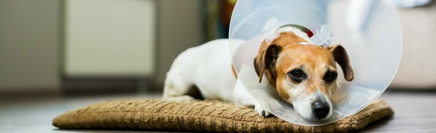 White and brown dog with cone on their head