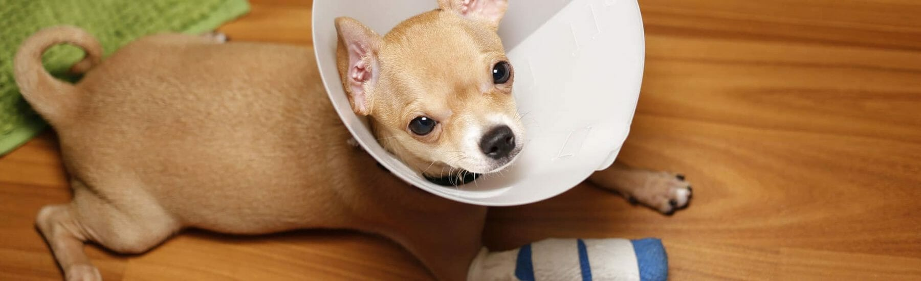 Small brown dog with cone on their head