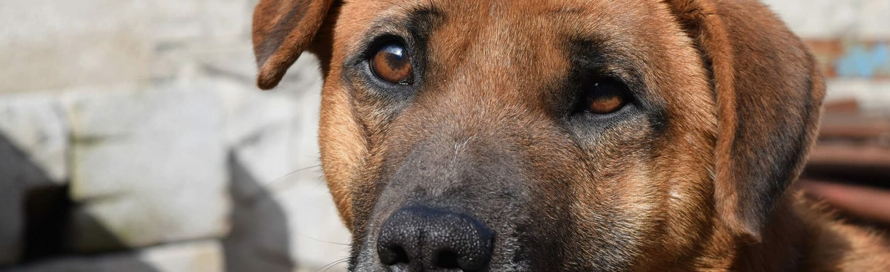 Closeup of brown dog's face