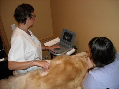Pregnant dog laying on table receiving an ultrasound