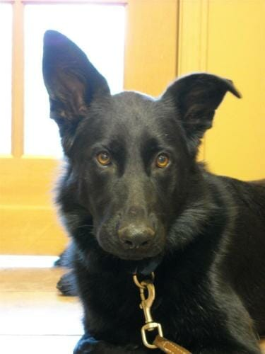 Large black dog with brown eyes looking towards camera