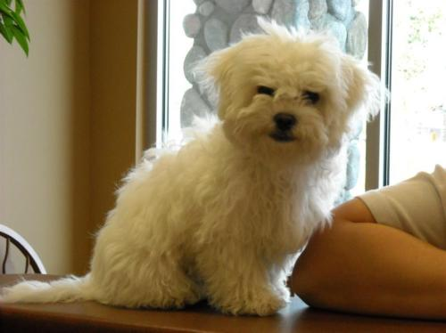 Small white haired dog looking towards camera