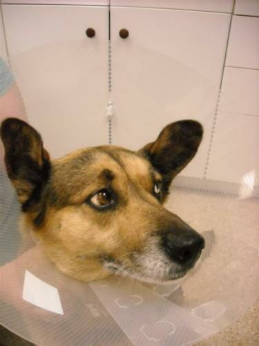 Brown dog with a transparent surgery cone around head