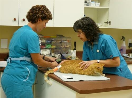 Orange tabby cat laying on vet clinic table